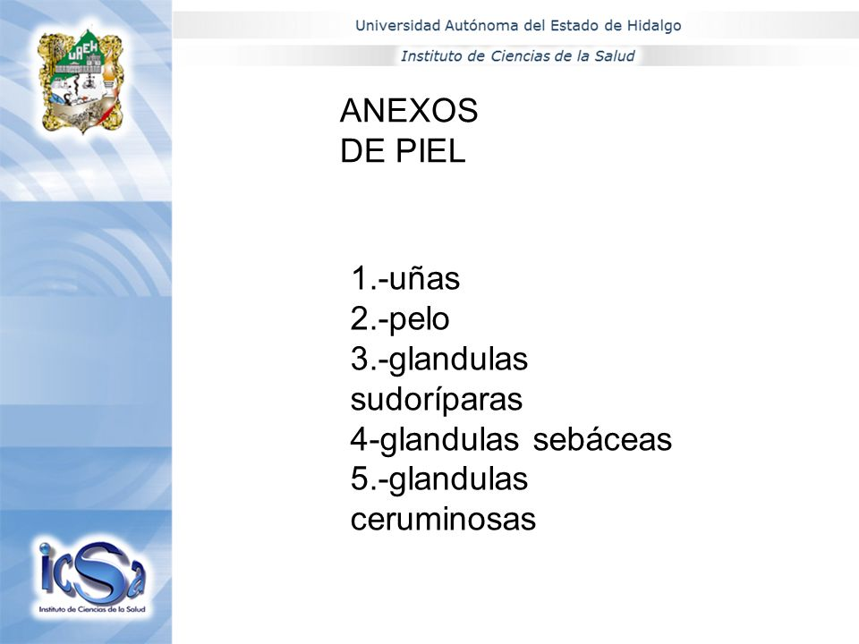 ANEXOS DE PIEL 1.-uñas 2.-pelo 3.-glandulas sudoríparas 4-glandulas sebáceas 5.-glandulas ceruminosas