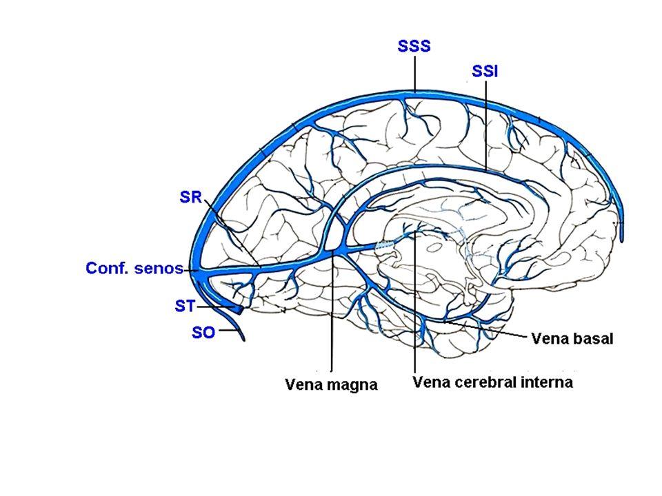 Excepcional Venas Cerebrales Anatomía Ilustración - Imágenes de ...