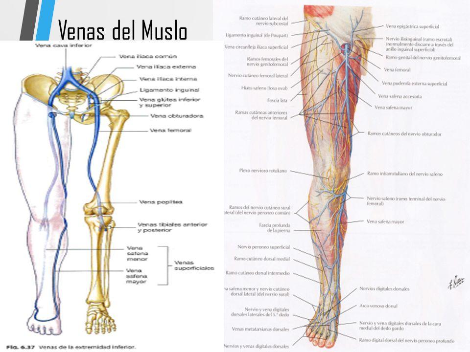 Único Anatomía Anterior Del Muslo Colección de Imágenes - Imágenes ...