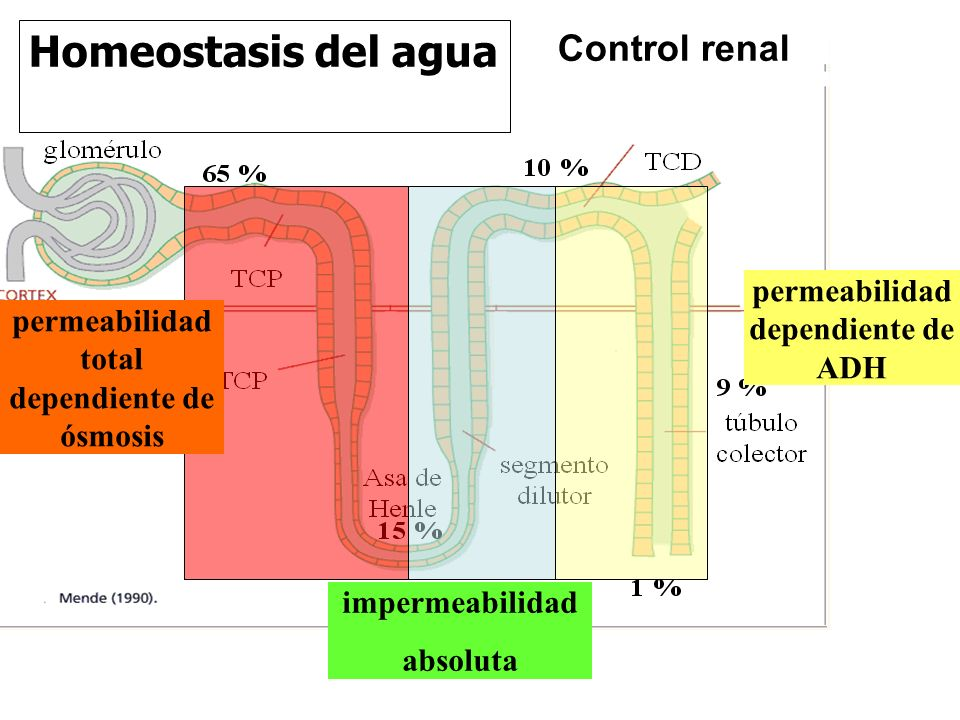 Homeostasis del agua Control renal impermeabilidad absoluta permeabilidad dependiente de ADH permeabilidad total dependiente de ósmosis