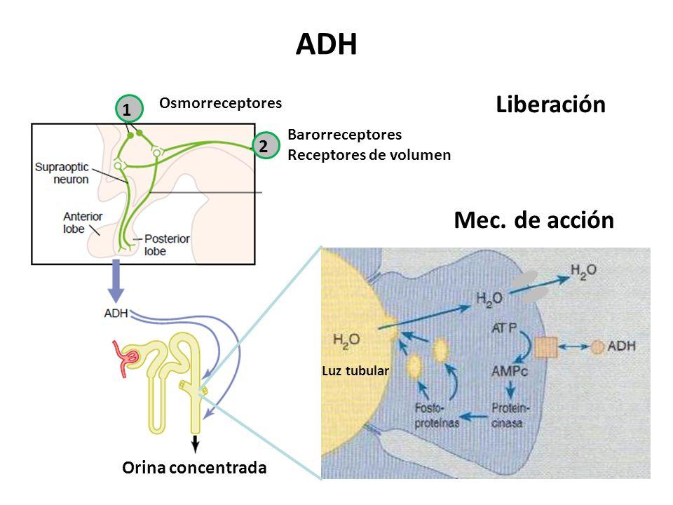Liberación Barorreceptores Receptores de volumen 1 2 Osmorreceptores Luz tubular Mec.