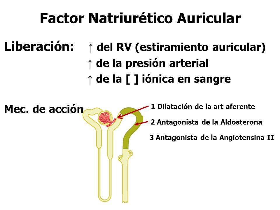 Factor Natriurético Auricular Liberación: ↑ del RV (estiramiento auricular) ↑ de la presión arterial ↑ de la [ ] iónica en sangre 1 Dilatación de la art aferente 2 Antagonista de la Aldosterona 3 Antagonista de la Angiotensina II Mec.