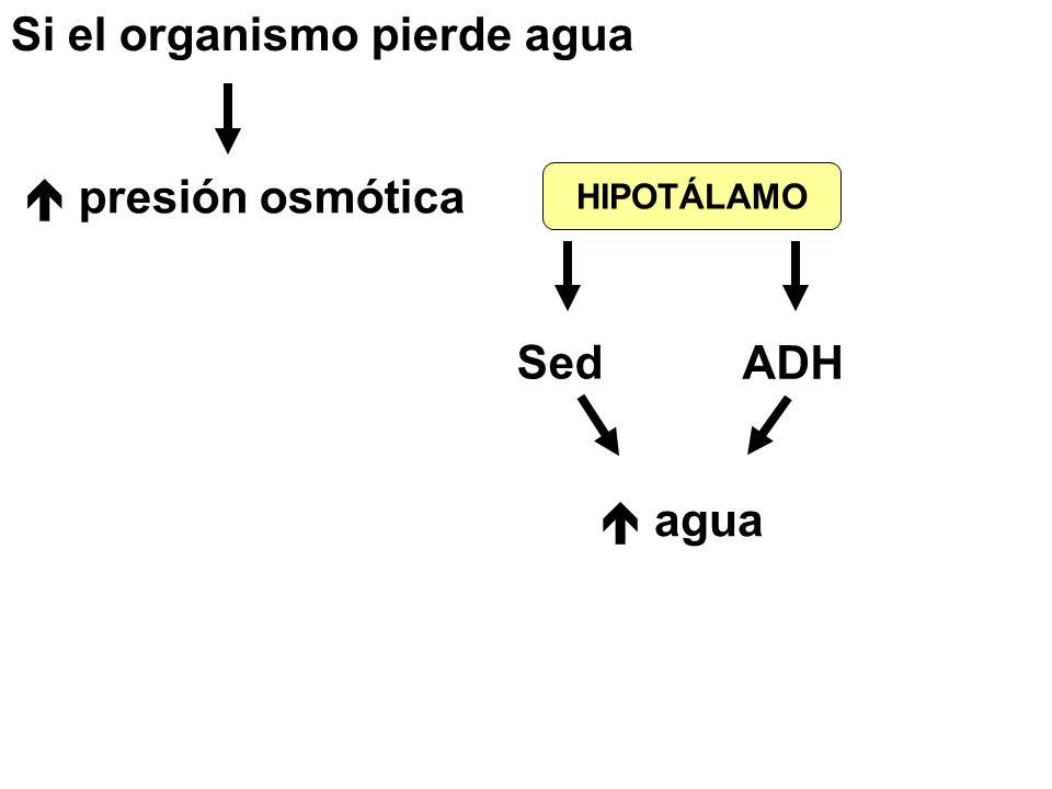 Si el organismo pierde agua  presión osmótica HIPOTÁLAMO Sed ADH  agua