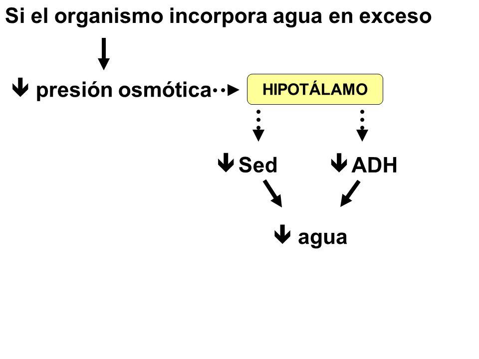 Si el organismo incorpora agua en exceso  presión osmótica  Sed  ADH  agua HIPOTÁLAMO