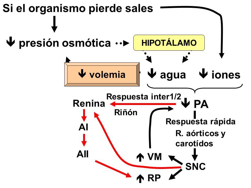 Si el organismo pierde sales  presión osmótica  agua HIPOTÁLAMO corrección  iones  PA SNC Respuesta rápida R.