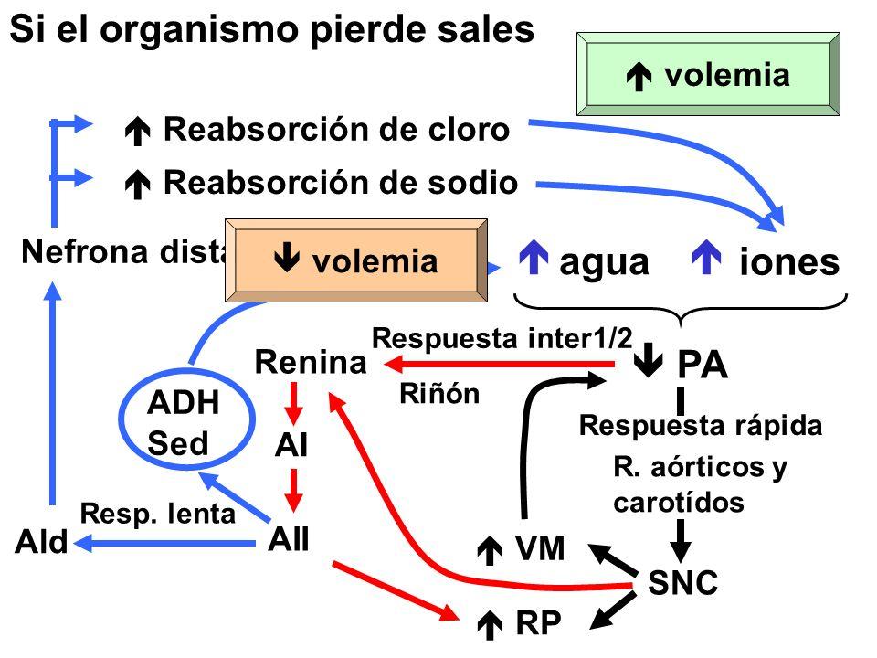 Si el organismo pierde sales  agua  iones  PA SNC Respuesta rápida R.