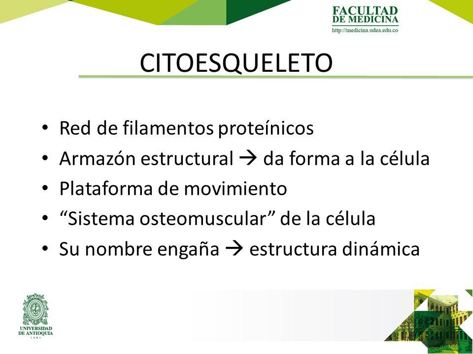 CITOESQUELETO Red de filamentos proteínicos Armazón estructural  da forma a la célula Plataforma de movimiento Sistema osteomuscular de la célula Su nombre engaña  estructura dinámica