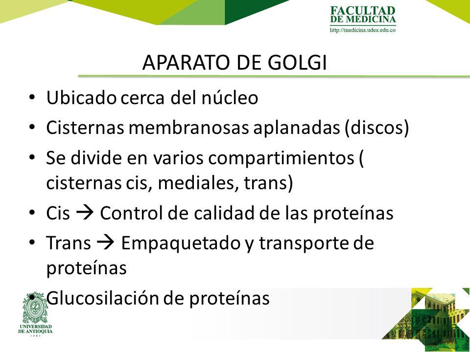 APARATO DE GOLGI Ubicado cerca del núcleo Cisternas membranosas aplanadas (discos) Se divide en varios compartimientos ( cisternas cis, mediales, trans) Cis  Control de calidad de las proteínas Trans  Empaquetado y transporte de proteínas Glucosilación de proteínas
