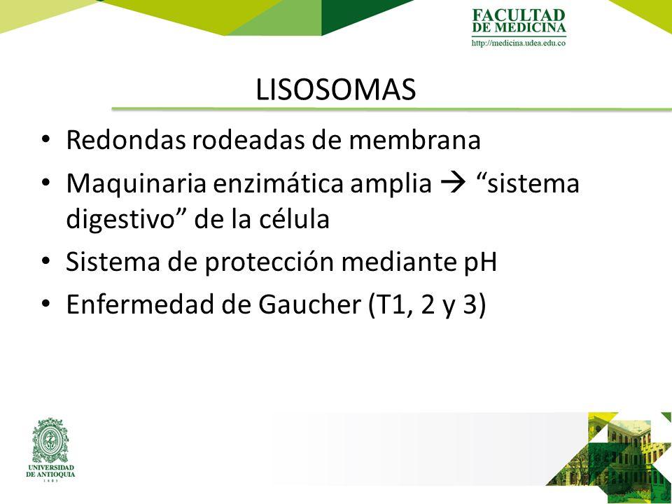 LISOSOMAS Redondas rodeadas de membrana Maquinaria enzimática amplia  sistema digestivo de la célula Sistema de protección mediante pH Enfermedad de Gaucher (T1, 2 y 3)