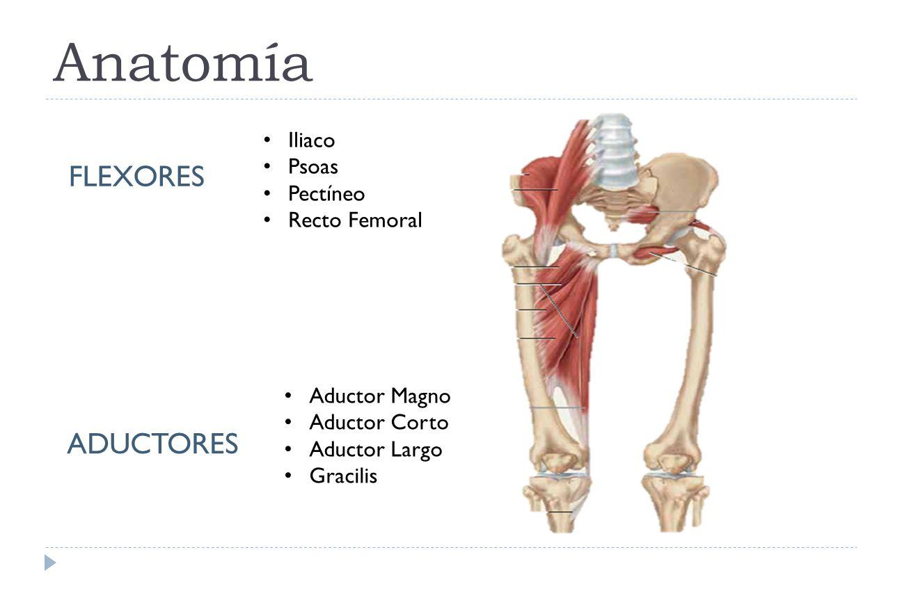 Contemporáneo Anatomía De Los Flexores De La Cadera Ornamento ...