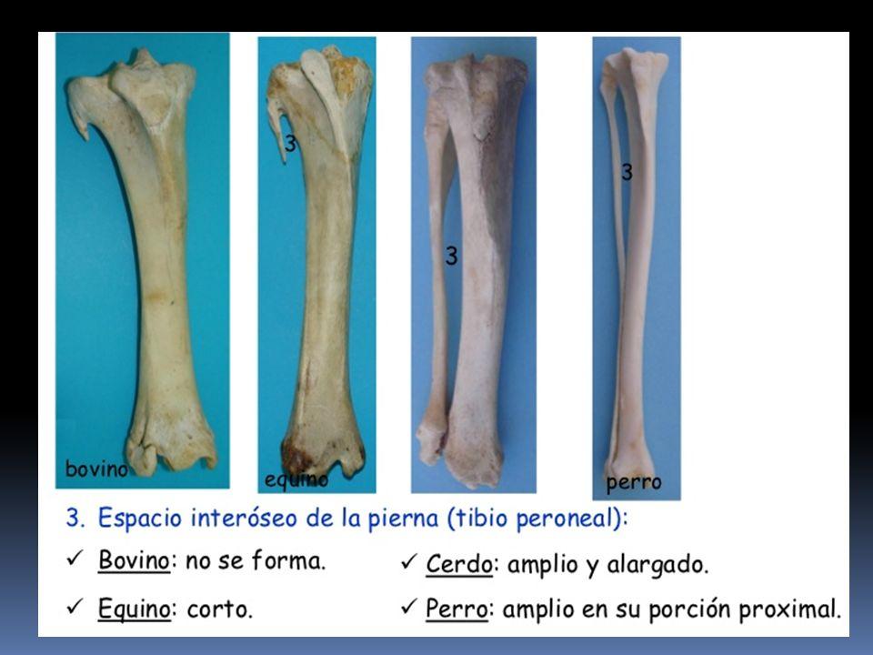 Perfecto Tibia Y El Peroné Anatomía Viñeta - Anatomía de Las ...