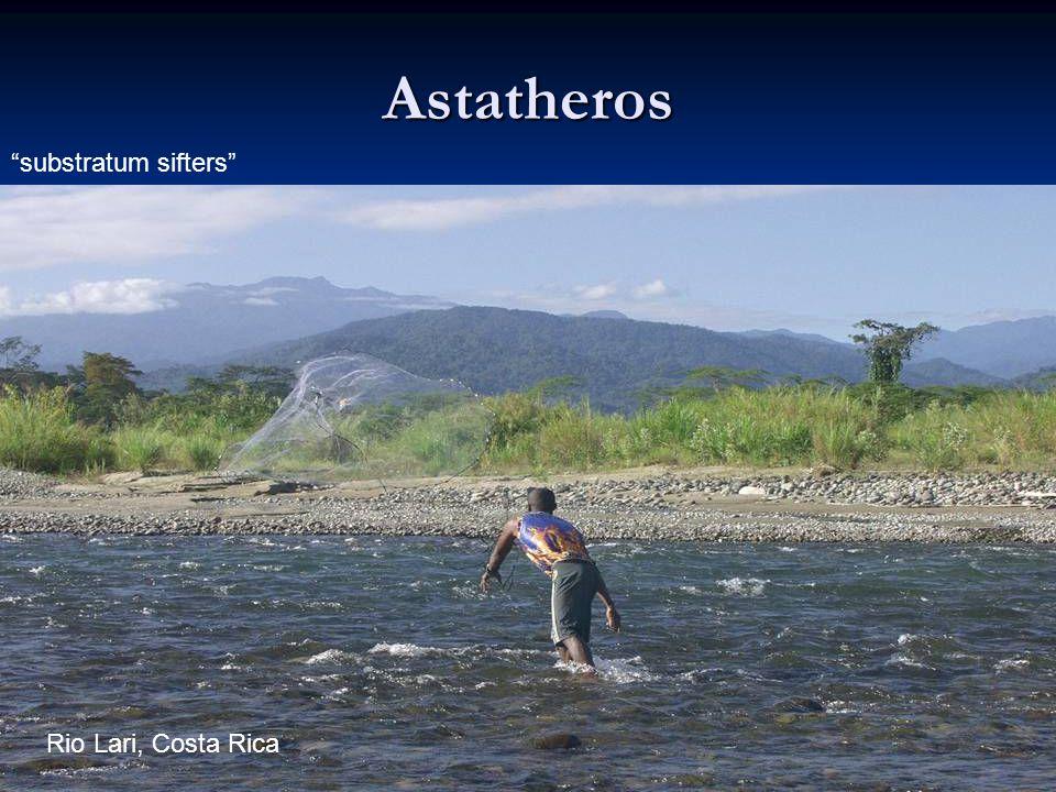 10 Astatheros Rio Lari, Costa Rica substratum sifters