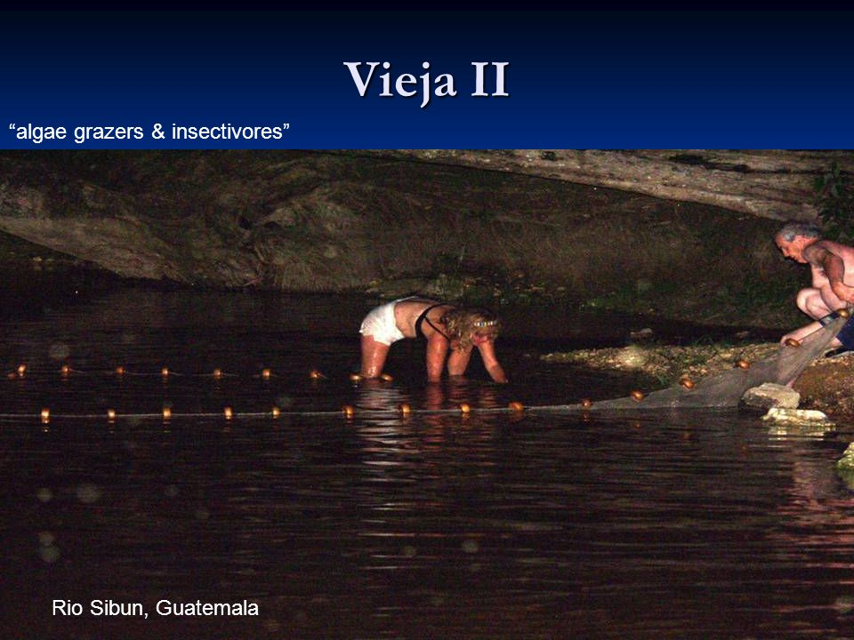 106 Vieja II Rio Sibun, Guatemala algae grazers & insectivores