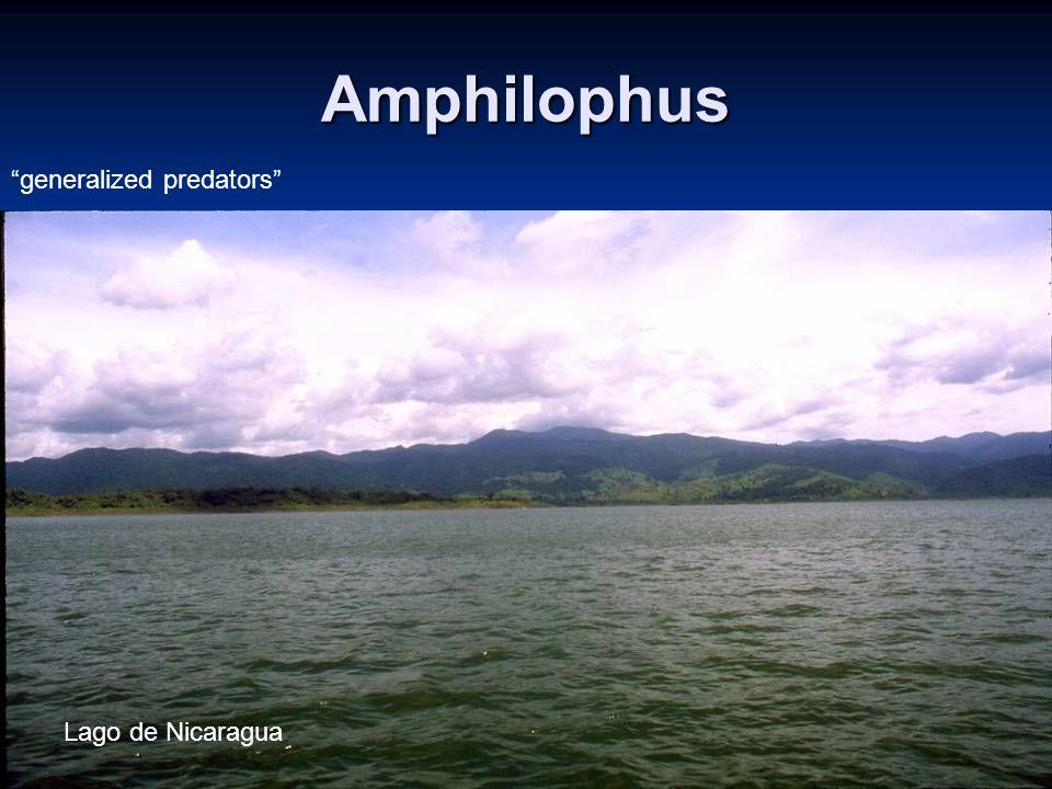 2 Amphilophus Lago de Nicaragua generalized predators
