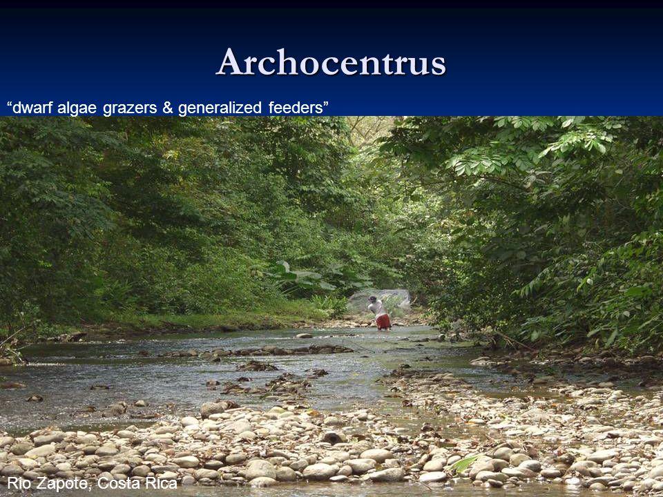 22 Archocentrus dwarf algae grazers & generalized feeders Rio Zapote, Costa Rica