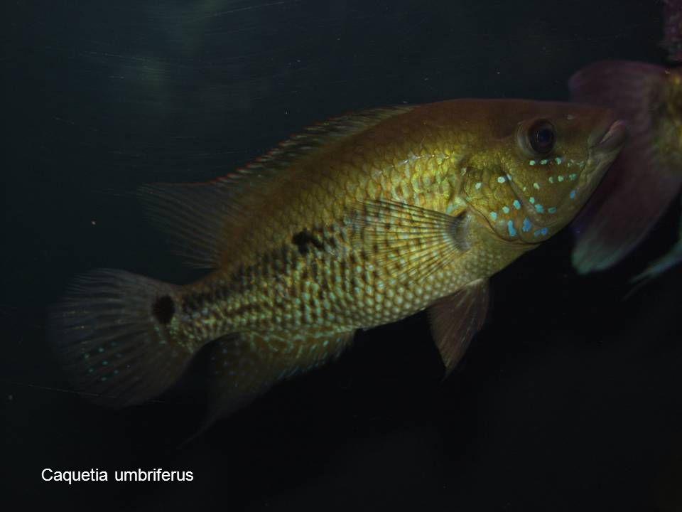 36 Caquetia umbriferus