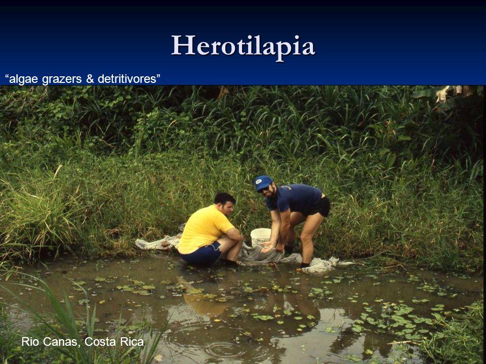 48 Herotilapia algae grazers & detritivores Rio Canas, Costa Rica
