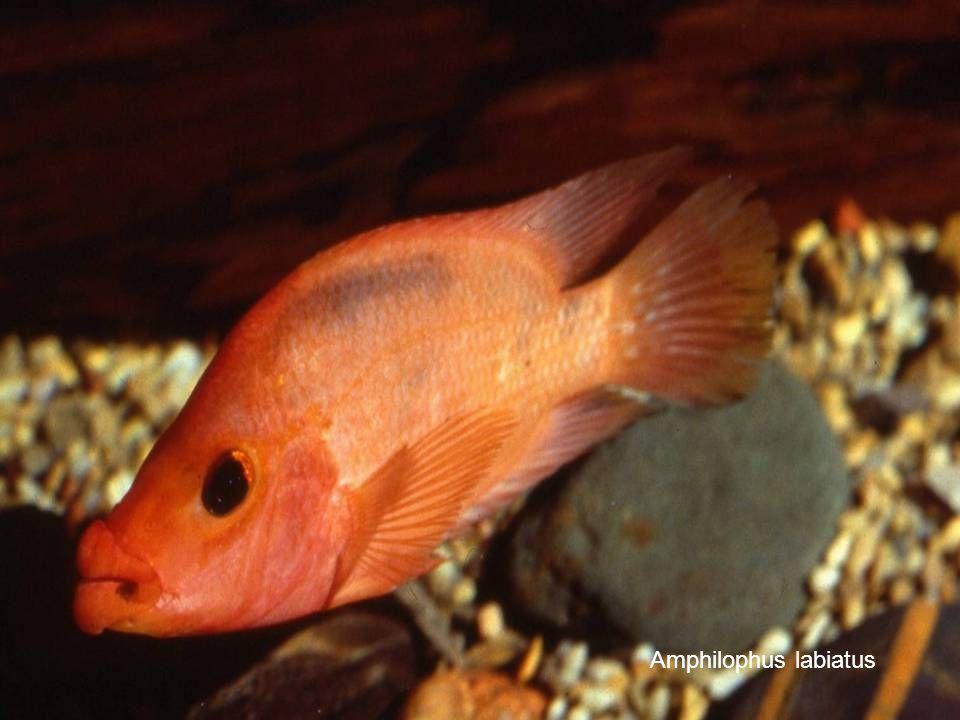 5 Amphilophus labiatus