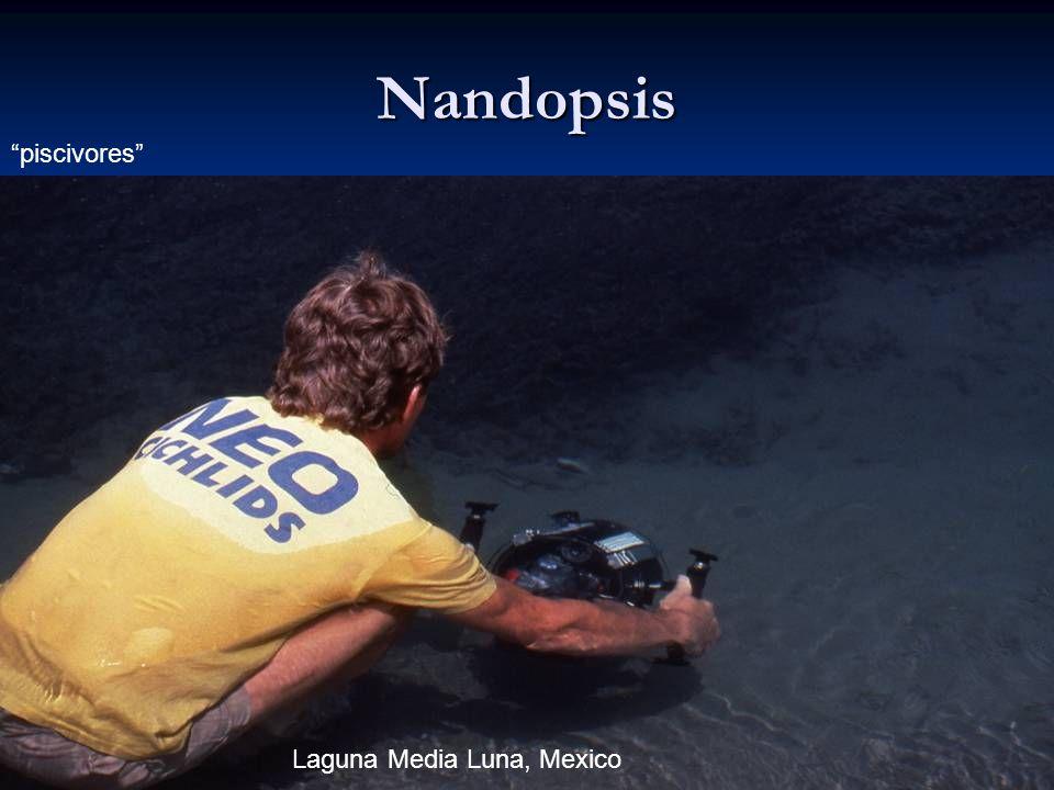 52 Nandopsis piscivores Laguna Media Luna, Mexico
