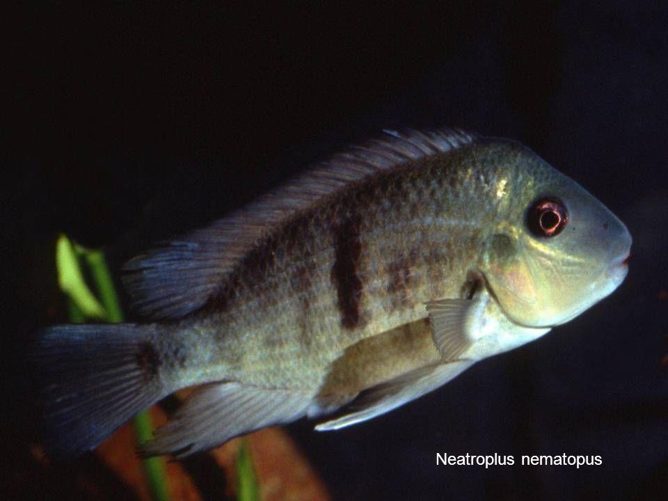 65 Neatroplus nematopus