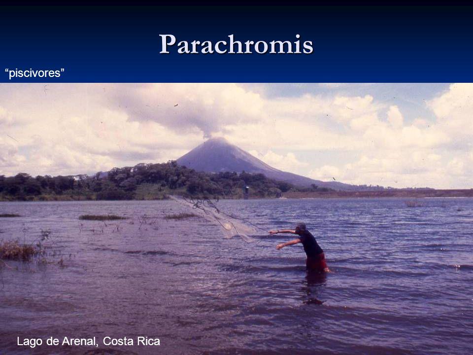 66 Parachromis piscivores Lago de Arenal, Costa Rica