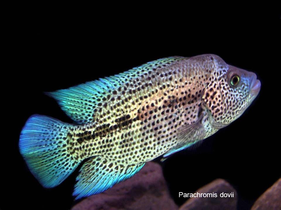 67 Parachromis dovii
