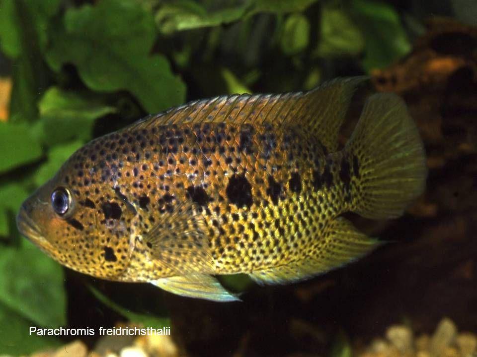 68 Parachromis freidrichsthalii