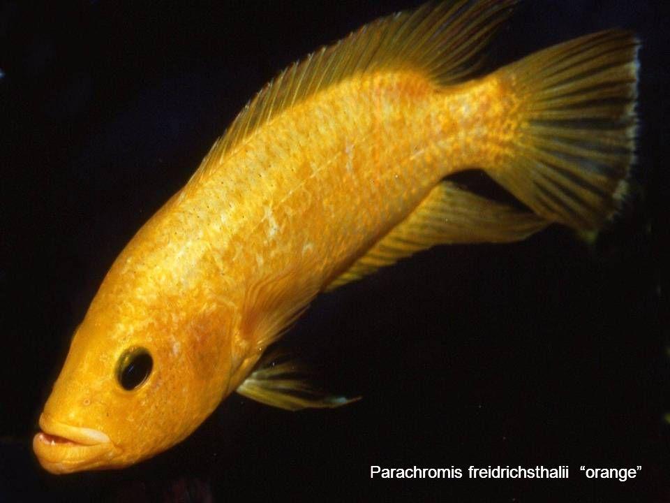 69 Parachromis freidrichsthalii orange