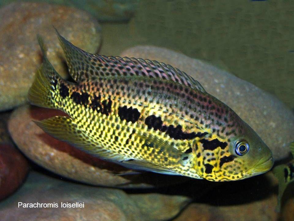 70 Parachromis loisellei