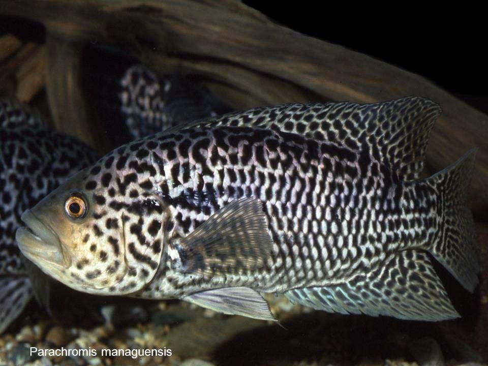 71 Parachromis managuensis