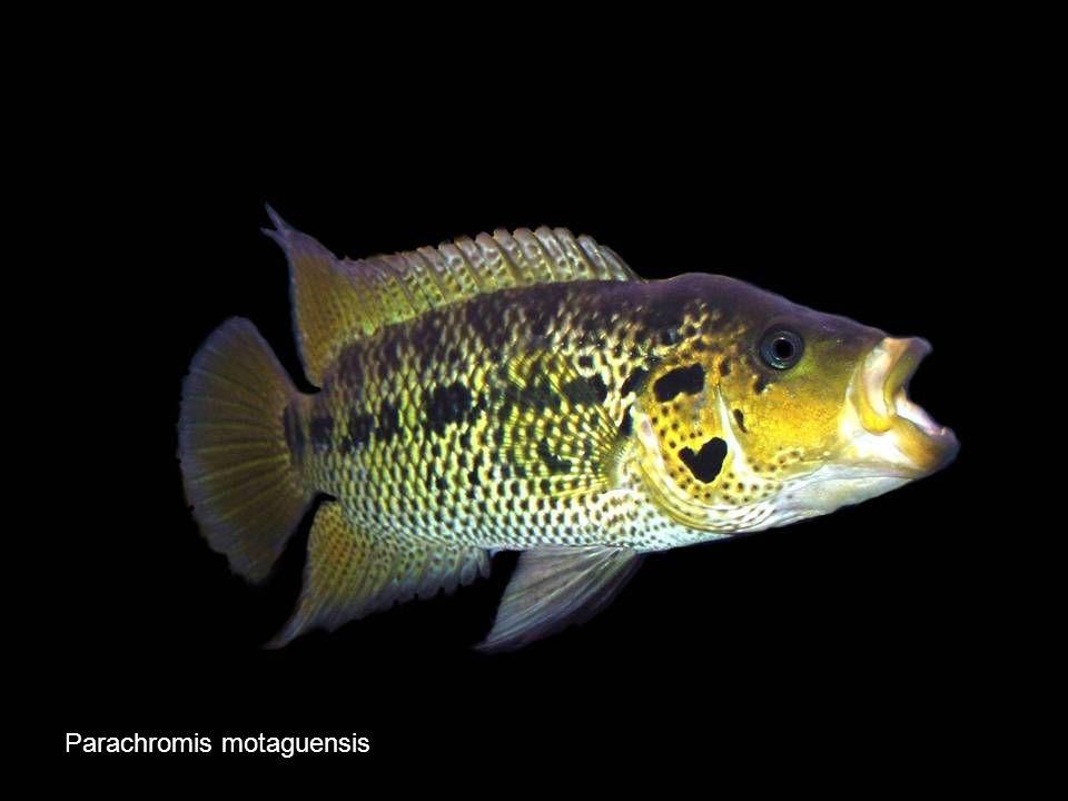 72 Parachromis motaguensis