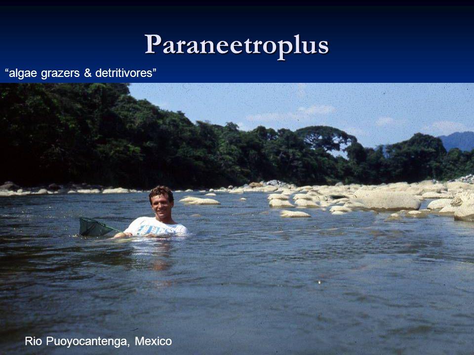 73 Paraneetroplus algae grazers & detritivores Rio Puoyocantenga, Mexico