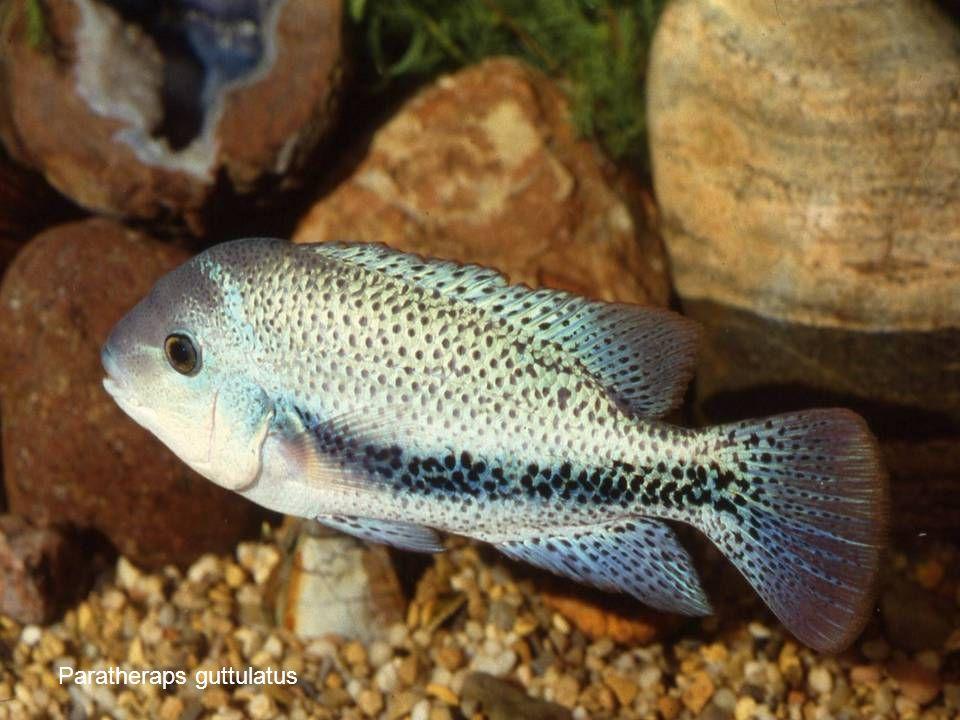 79 Paratheraps guttulatus
