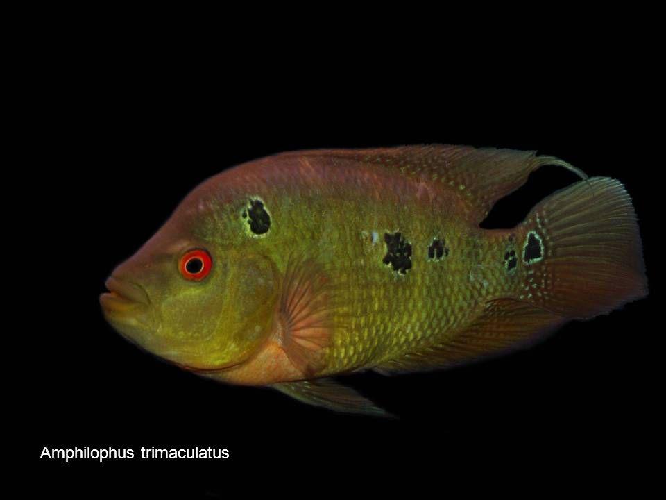 8 Amphilophus trimaculatus