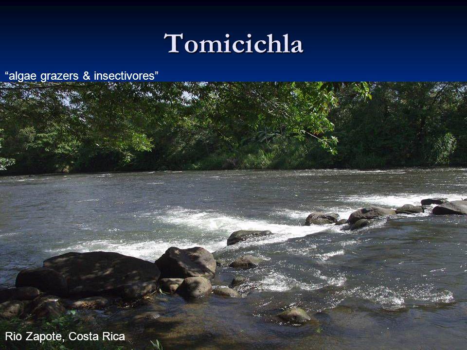 96 Tomicichla algae grazers & insectivores Rio Zapote, Costa Rica