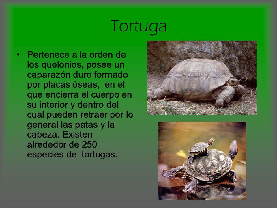 Tortuga Pertenece a la orden de los quelonios, posee un caparazón duro formado por placas óseas, en el que encierra el cuerpo en su interior y dentro