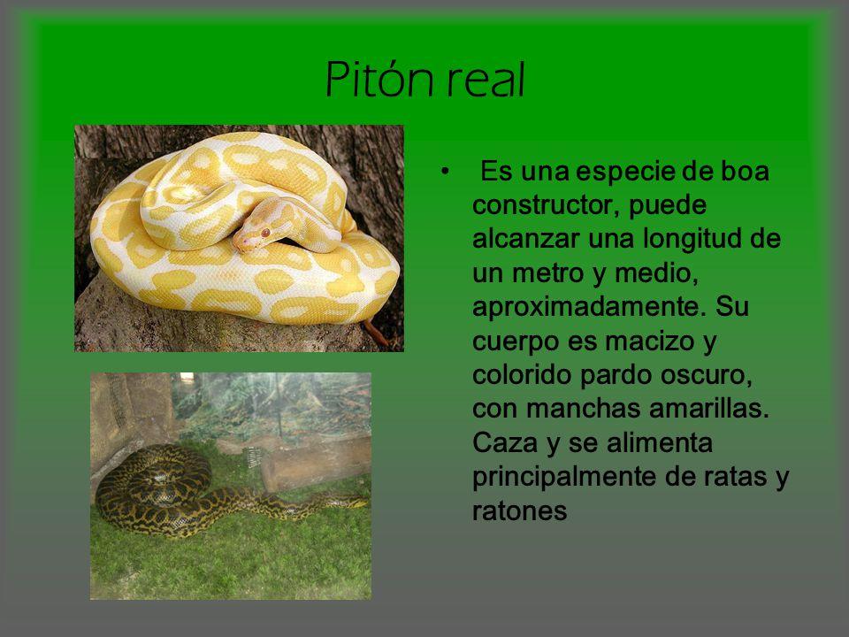 Pitón real Es una especie de boa constructor, puede alcanzar una longitud de un metro y medio, aproximadamente. Su cuerpo es macizo y colorido pardo o