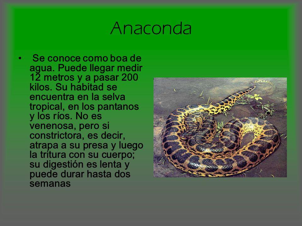 Iguana Pertenece a la familia iguánido, puede llegar a medir entre 8 cm a 2 mts de longitud.