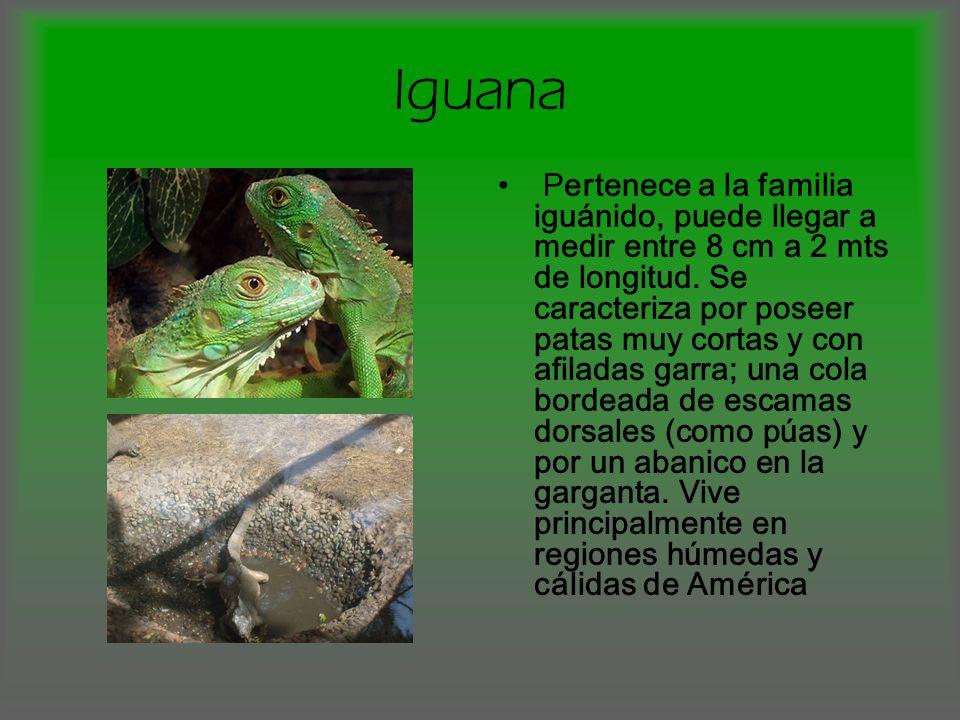 Iguana Pertenece a la familia iguánido, puede llegar a medir entre 8 cm a 2 mts de longitud. Se caracteriza por poseer patas muy cortas y con afiladas