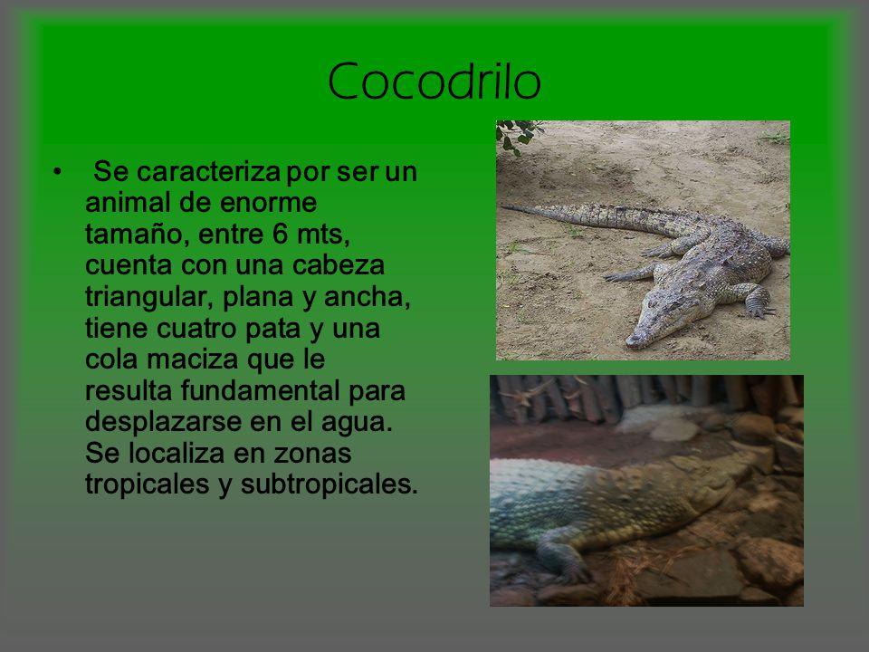 Cocodrilo Se caracteriza por ser un animal de enorme tamaño, entre 6 mts, cuenta con una cabeza triangular, plana y ancha, tiene cuatro pata y una cola maciza que le resulta fundamental para desplazarse en el agua.