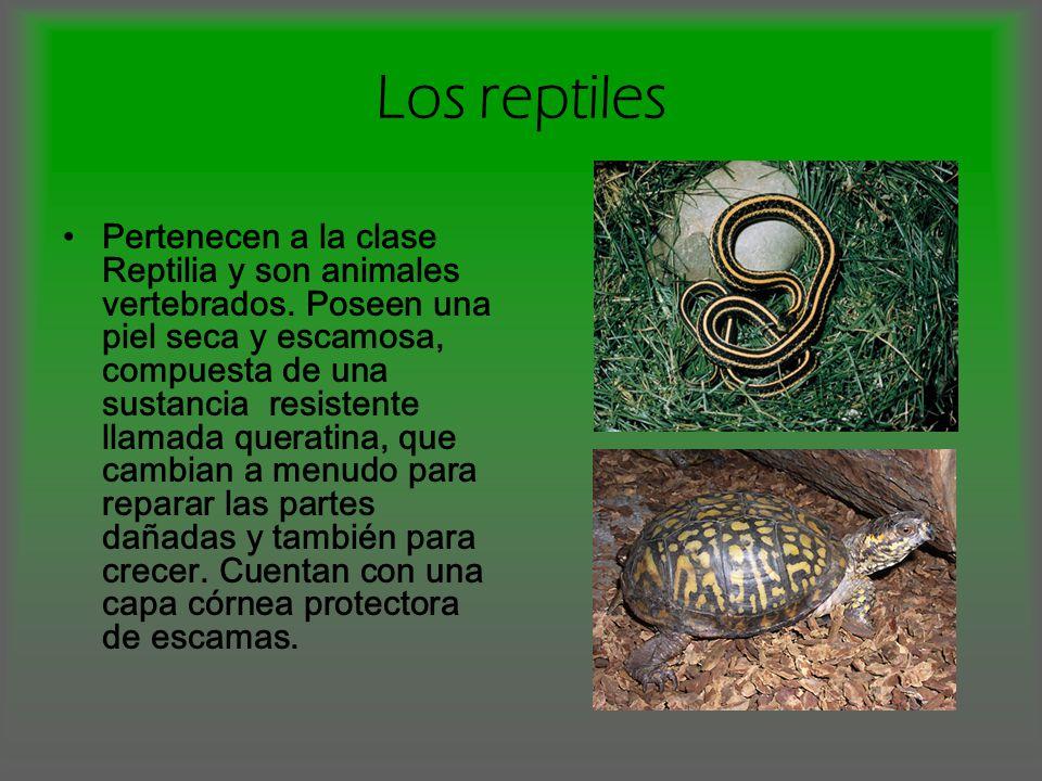 Pertenecen a la clase Reptilia y son animales vertebrados. Poseen una piel seca y escamosa, compuesta de una sustancia resistente llamada queratina, q