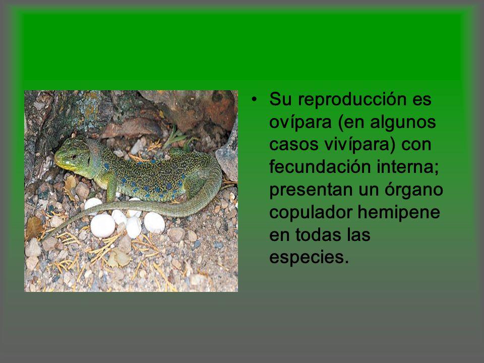 Su reproducción es ovípara (en algunos casos vivípara) con fecundación interna; presentan un órgano copulador hemipene en todas las especies.