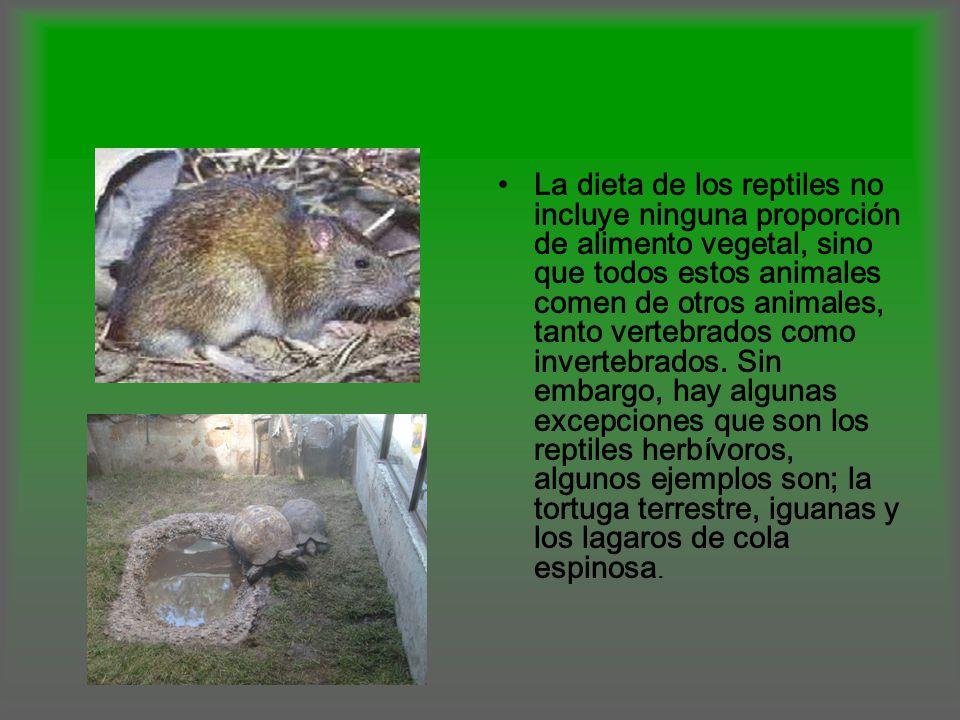 La dieta de los reptiles no incluye ninguna proporción de alimento vegetal, sino que todos estos animales comen de otros animales, tanto vertebrados c
