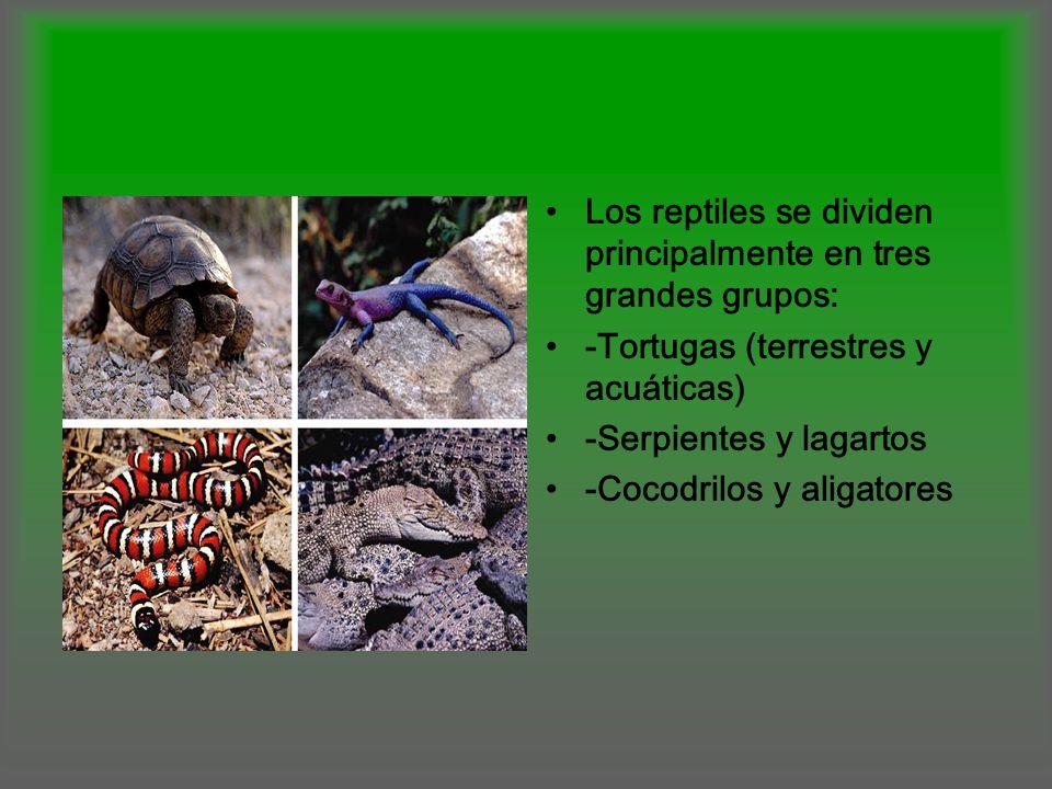Los reptiles se dividen principalmente en tres grandes grupos: -Tortugas (terrestres y acuáticas) -Serpientes y lagartos -Cocodrilos y aligatores