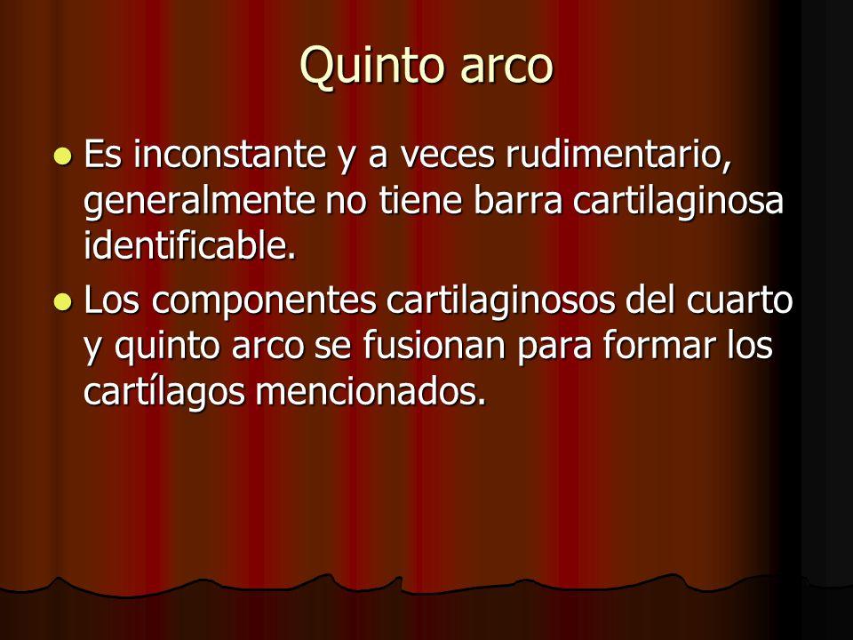 Quinto arco Es inconstante y a veces rudimentario, generalmente no tiene barra cartilaginosa identificable. Es inconstante y a veces rudimentario, gen