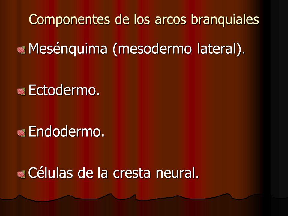 Componentes de los arcos branquiales Mesénquima (mesodermo lateral). Ectodermo.Endodermo. Células de la cresta neural.