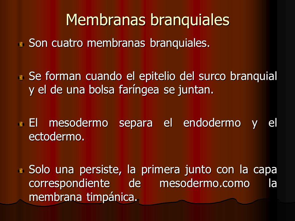 Membranas branquiales Son cuatro membranas branquiales. Se forman cuando el epitelio del surco branquial y el de una bolsa faríngea se juntan. El meso