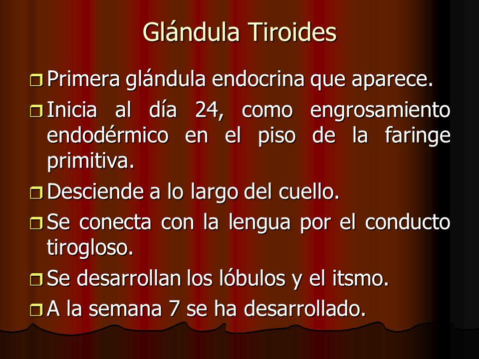Glándula Tiroides Primera glándula endocrina que aparece. Primera glándula endocrina que aparece. Inicia al día 24, como engrosamiento endodérmico en