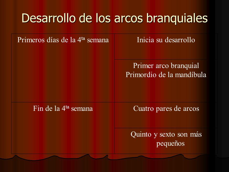 Desarrollo de los arcos branquiales Primeros días de la 4 ta semanaInicia su desarrollo Primer arco branquial Primordio de la mandíbula Fin de la 4 ta