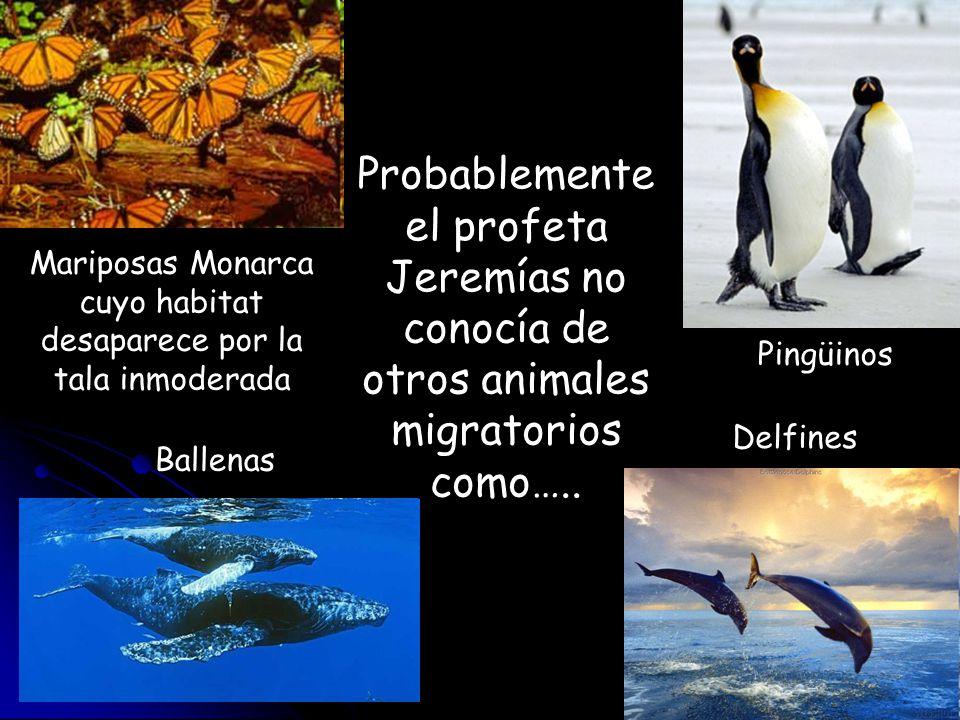 Probablemente el profeta Jeremías no conocía de otros animales migratorios como….. Mariposas Monarca cuyo habitat desaparece por la tala inmoderada Pi